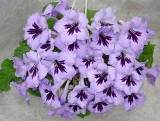 Растение из семейства геснериевых